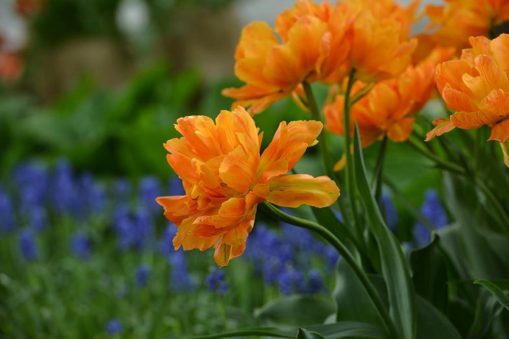НаЕлагином острове высадят тридцать шесть новых видов тюльпанов